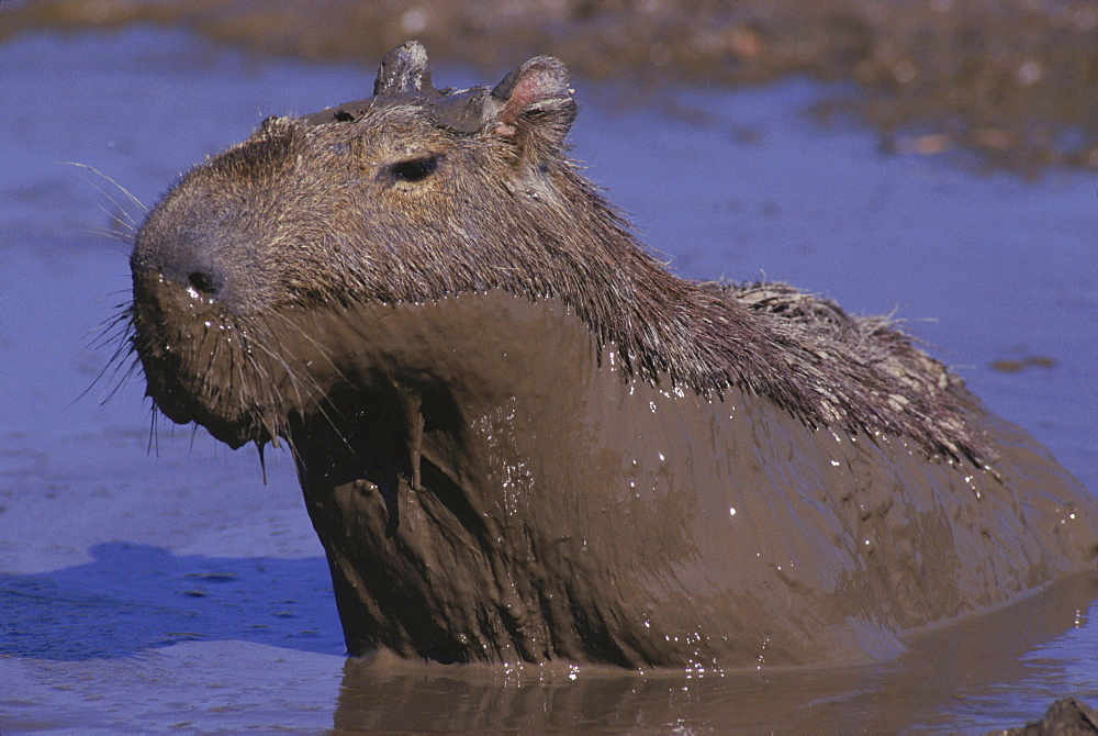 Mud coated capybara rising from a pool on the llanos of central Venezuela, South America.