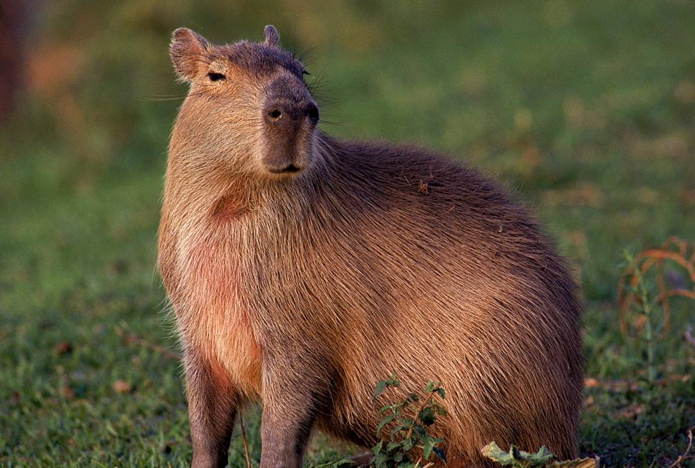 Capybara on the llanos of central Venezuela, South America.