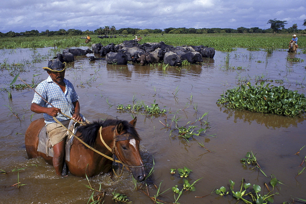 Cowboy with a herd of water buffalo on the flooded llanos, Venezuela, South America.