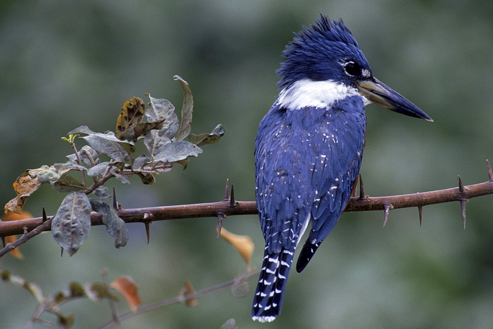 Ringed Kingfisher perches on a thorny branch on the llanos of central Venezuela, South America.