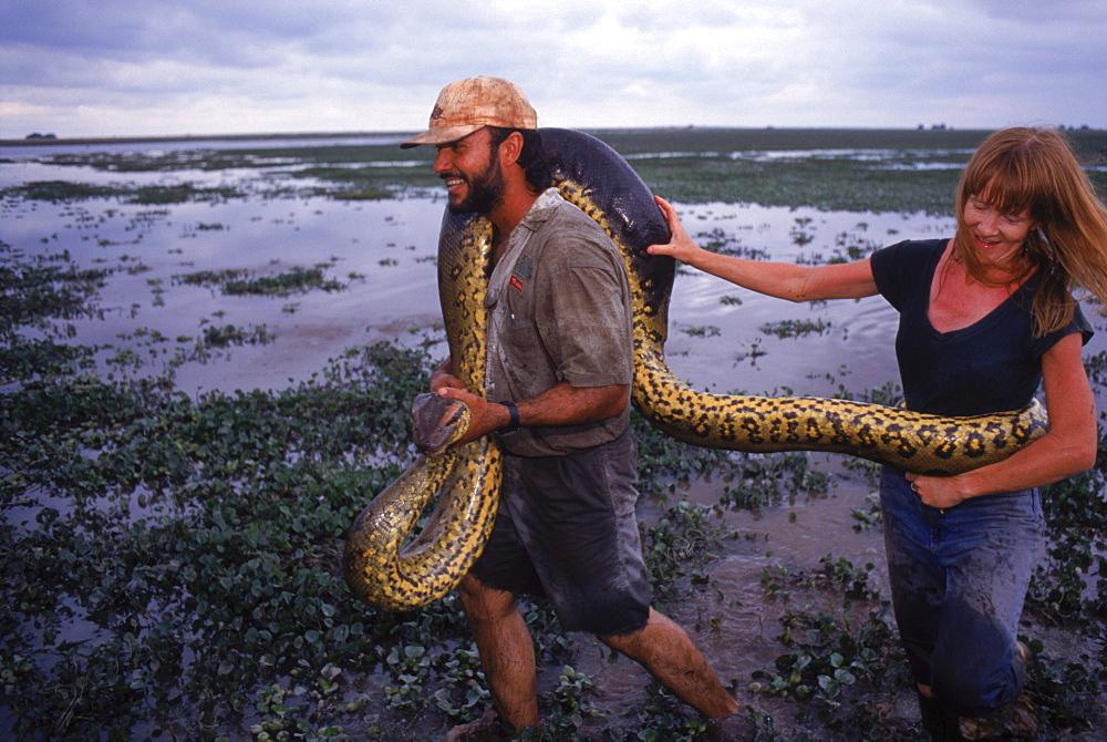 Biologist Jesus Rivas & his wife Rene Owens carry a female anaconda they captureds for study. Hato el Cedral Ranch. Venezuela