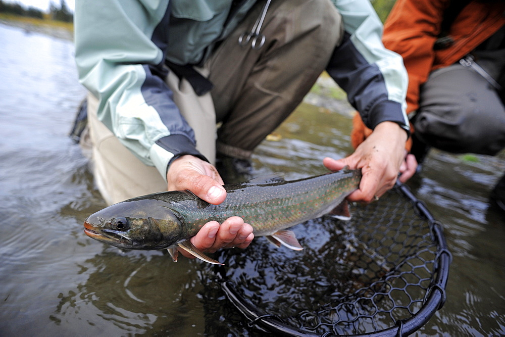 Dolly Varden char caught on Deep Creek on the Western Kenai Peninsula, Alaska September 2009.  Flowing into Cook Inlet north of Homer, the waters of Deep Creek and the Anchor River host late fall runs of wild steelhead.