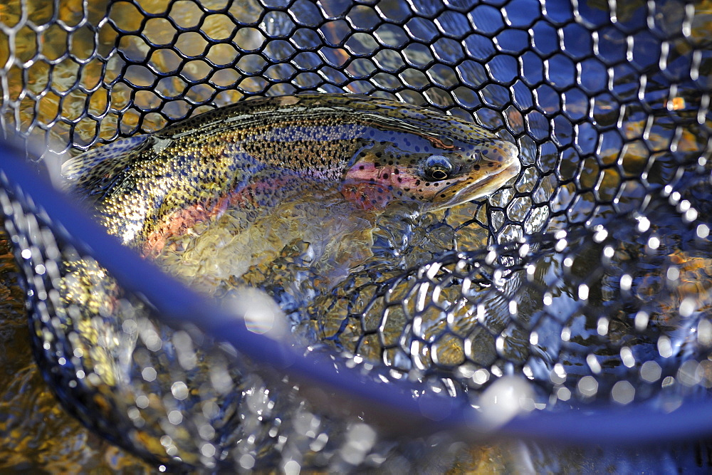 Rainbow trout caught on Deep Creek on the Western Kenai Peninsula, Alaska September 2009.  Flowing into Cook Inlet north of Homer, the waters of Deep Creek and the Anchor River host late fall runs of wild steelhead.