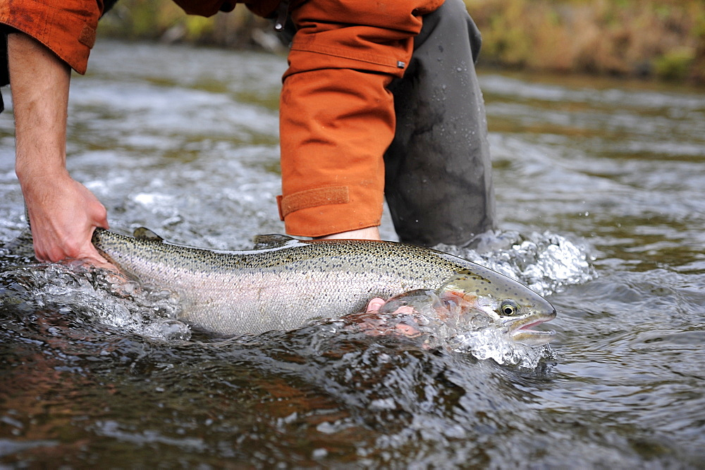 Wild steelhead fished on Deep Creek on the Western Kenai Peninsula, Alaska September 2009.  Flowing into Cook Inlet north of Homer, the waters of Deep Creek and the Anchor River host late fall runs of wild steelhead.