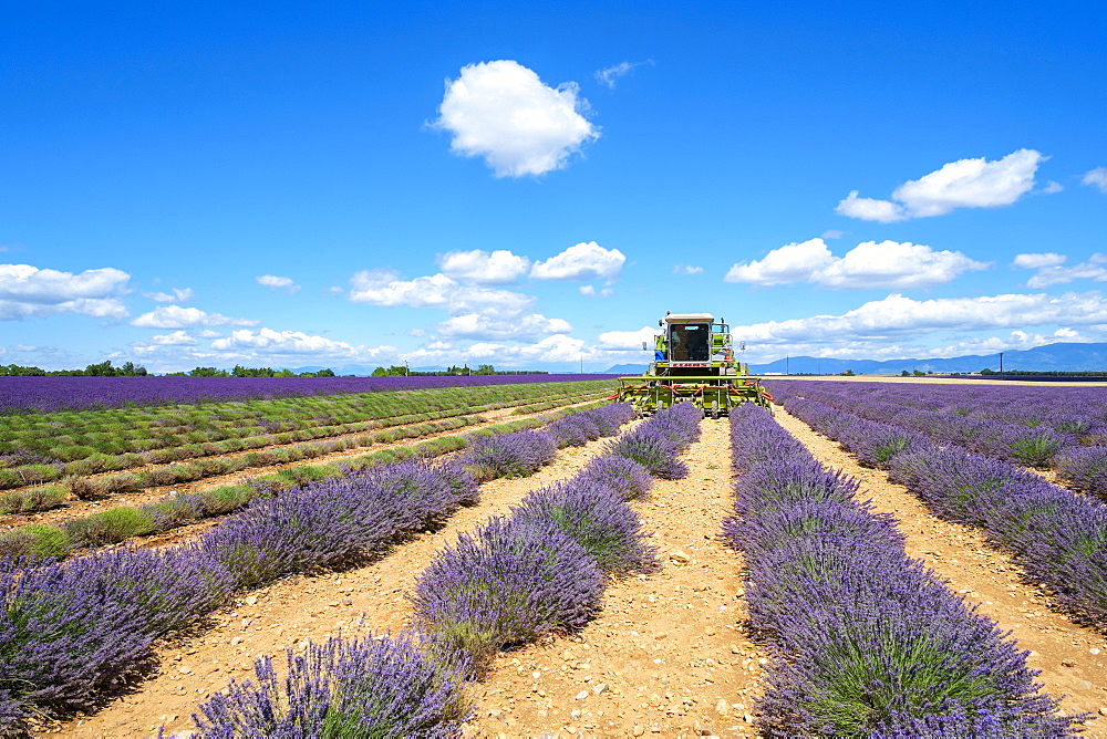Lavender fields in Provence in height of bloom in early July as workers begin harvesting first rows of Lavender, Plateau de Valensole, Provence-Alpes-Côte d'Azur, France