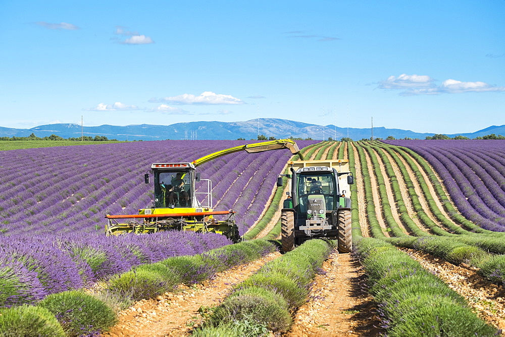 Workers begin harvesting first rows of lavender in a field in early July on the Plateau de Valensole near Puimoisson, Provence-Alpes-Côte d'Azur, France