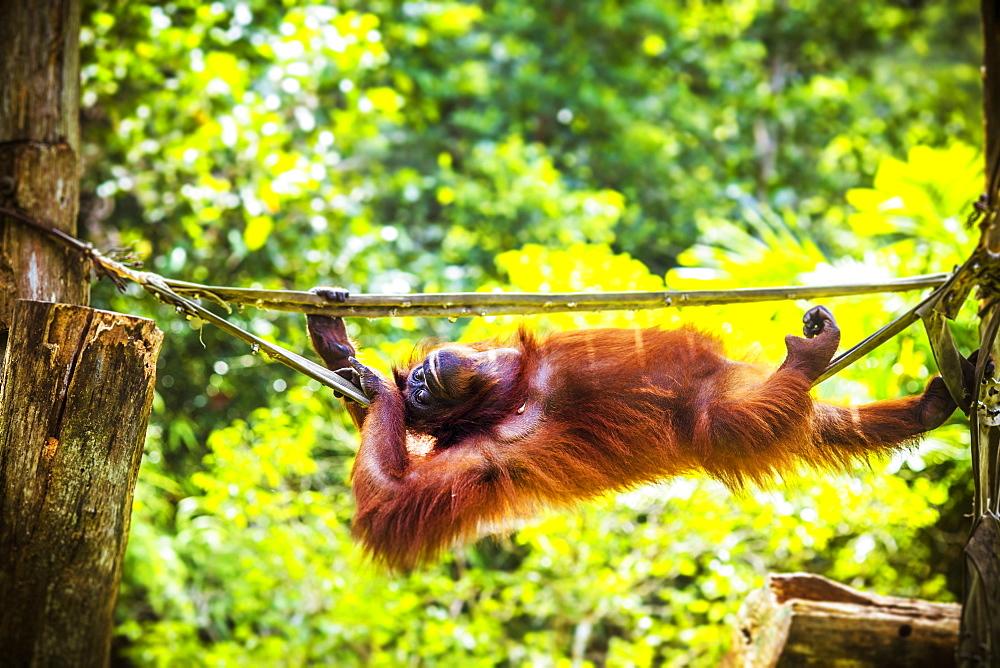 Relaxing orangutan.