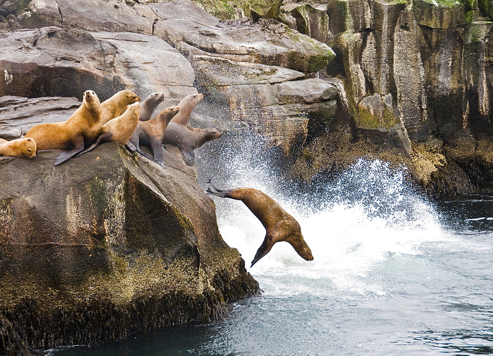 UNALASKA, AK - JUNE 22: A group of western Stellar sea lions (Eumetopias jubatus) congregate on a rocky outcrop along the Aleutian chain on Unalaska Island, Alaska on June 22, 2008. The western Stellar sea lion. the largest of all sea lions, is considered endangered with the reason for its decline uknown. (Photo By Dan Rafla/Aurora), United States of America