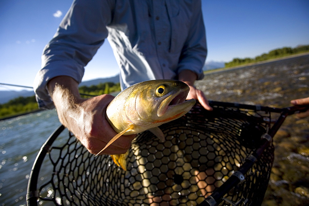 A man holds a large trout that he caught on the Snake River near Jackson, Wyoming. USA, United States of America