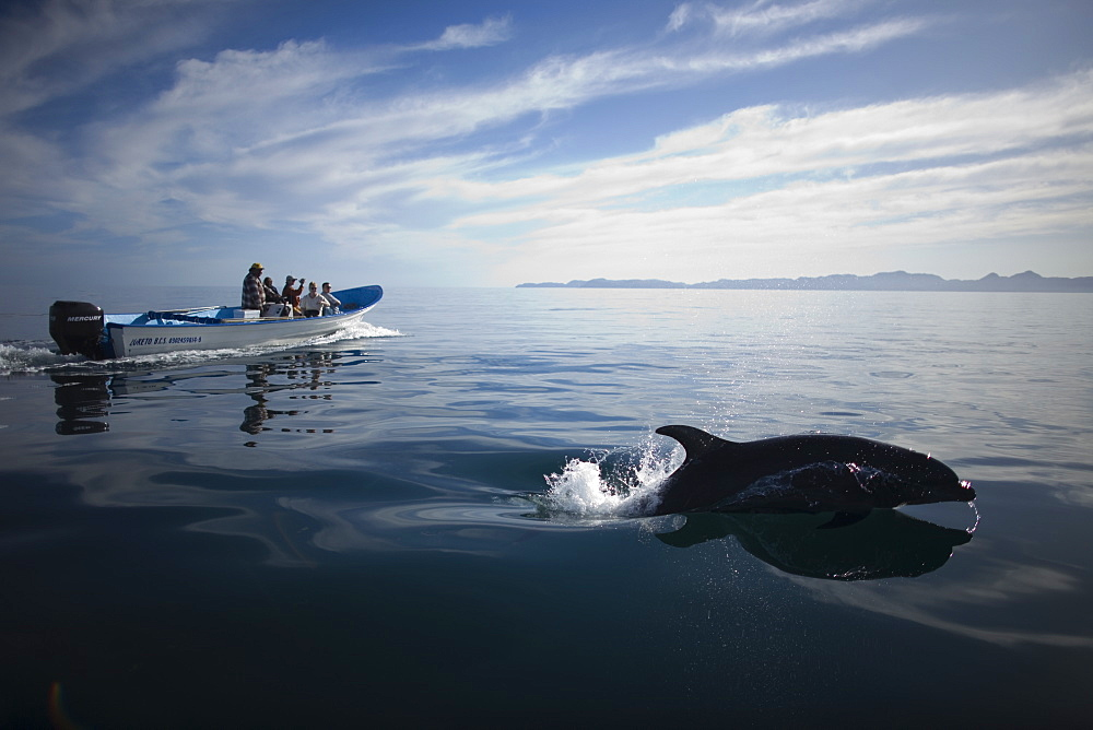A dolphin jumps as tourists watch from their boat in the bay near the town of Loreto in Mexico's southern Baja California state, February 14, 2009, Mexico
