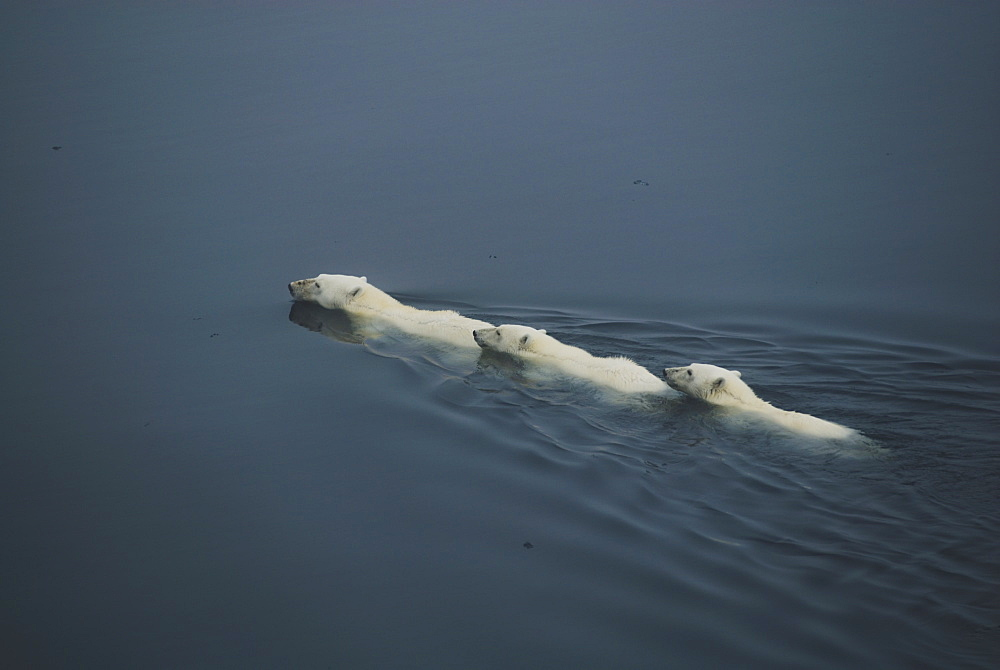 Female polar bear (Ursus Maritimus) and offspring swimming in open water, Hinlopen Straight, Spitsbergen/Svalbard, Norway, on 28 July 2007. Polar bears are classified as mobile marine mammals and have the ability of swimming over 100 miles. Polar bears primary habitat of sea ice is threatened due to global warming and rising temperatures in the Arctic regions, Norway