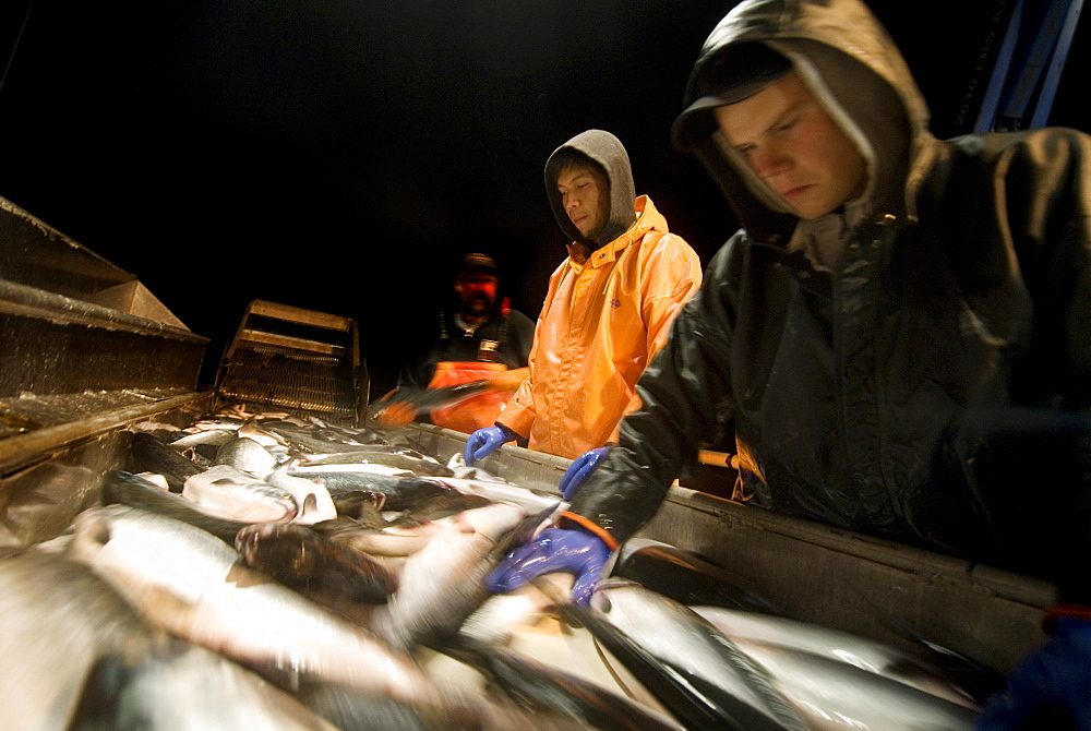"08/15/08 Crew members Alexai Gamble and Nick Demmert sort salmon after sein fishing on Captain Larry Demmert's boat just off of the outer islands west of Prince of Whales Island in SE Alaska. This is a native fishing hole. At this time they were catching mostly ""humpies"", United States of America"