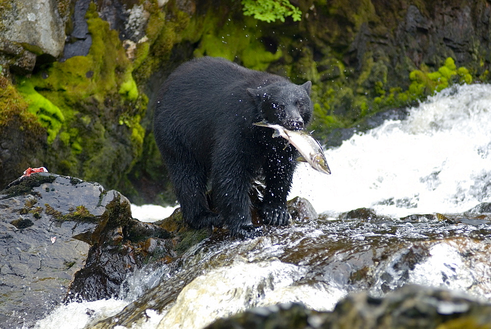 August 16, 2008 Bear waddling around and eating salmon in stream at Dog Salmon Creek Falls on Prince of Whales Island, SE Alaska, United States of America
