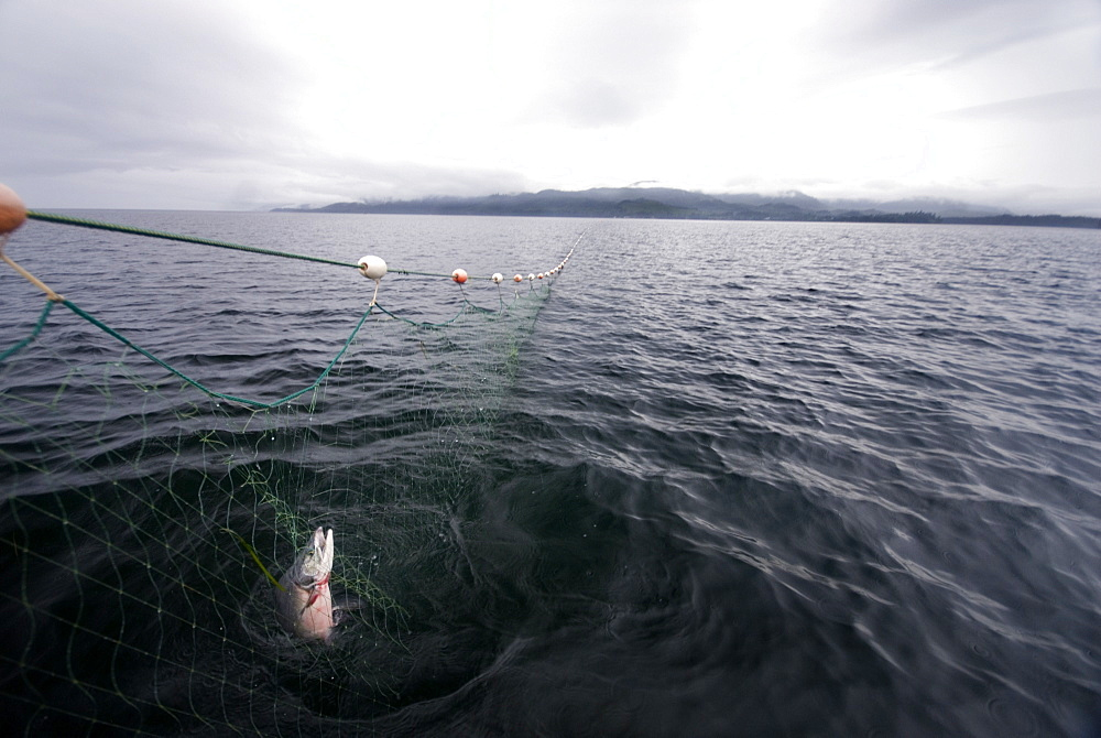 August 17, 08 Prince of Whales Island Alaska. Gill Netting for salmon off Coffman Cove AK. One salmon caught in the net, United States of America