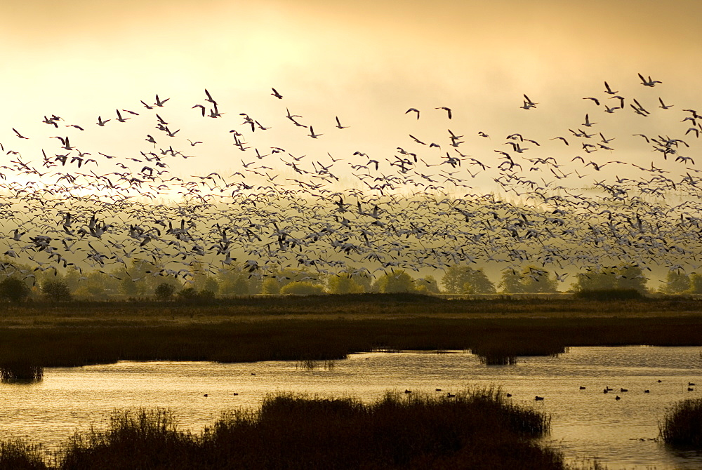 October 15, 2008 Snow Geese in flight, Port Susan Bay Preserve, Washington The marshes support abundant invertebrate life which, in turn, feed hundreds of thousands of shorebirds, including Wrangel Island snow geese. Port Susan Bay and adjacent Skagit Bay are important stops for migratory birds traveling along the Pacific Flyway, United States of America