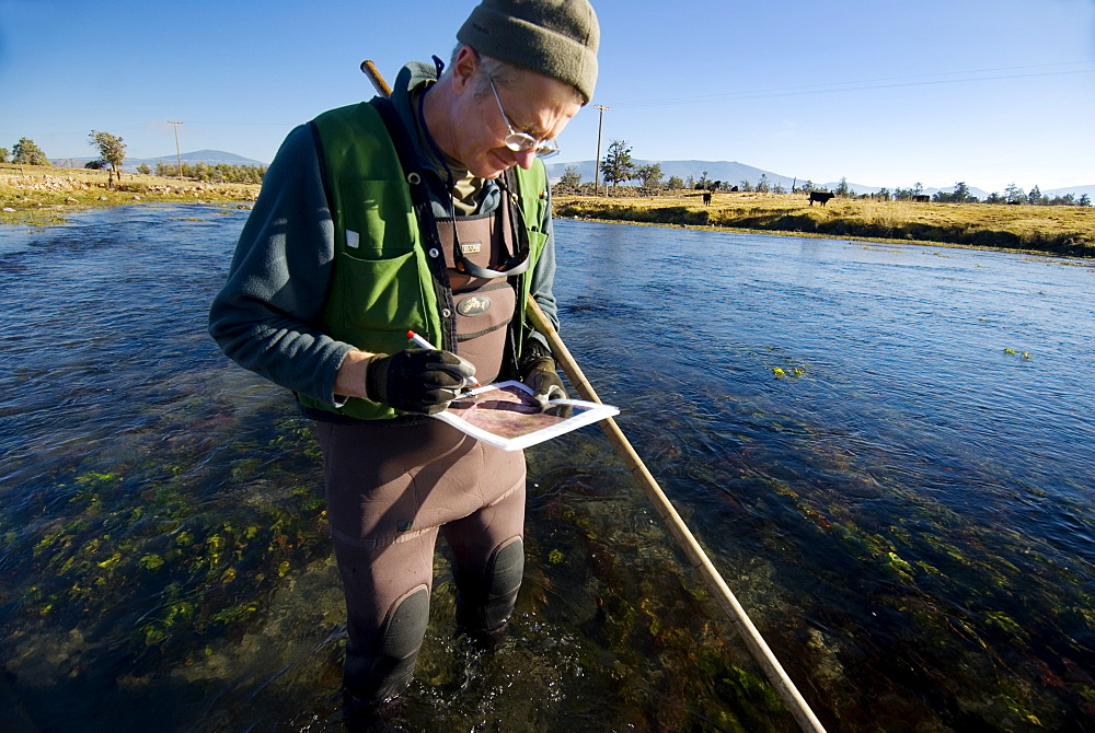 Mt Shasta CA, Big Spring Ranch Bill Chesney from the CA Dept of Fish & Game counting redds in a stretch of river that is heavily grazed by cattle who have full access to the river and often drink and eat in it. Mt Shasta in the background. The Shasta River runs through Big Springs Ranch about 20 miles north of the town of Mt Shasta. The ranch, which is contributing to degraded habitat conditions, and actually warming water temps by upwards of 10 degrees as the river passes through the ranch and then spills into the Klameth, is currently under contract for purchase by TNC. Since the contract began, TNC and partner organizations have been allowed to research this stretch of river for the first time. They have discovered that is it a very fertile juvenile rearing area and that there are a surprising number of returning salmon in spite of habitat degradation by grazing cattle (often in the river) and irrigation practices. If this purchase is successful, TNC has the chance to improve a large stretch of habitat and quickly improve conditions that will effect numbers of returning fish and habitat in the Shasta and Klameth Rivers. The Shasta River and its tributaries create one of the most important spawning nurseries for Chinook salmon in the entire Klamath Basin, United States of America