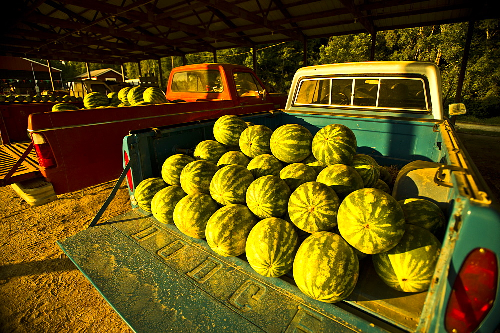 Watermelons fill the bed of a pick-up truck.