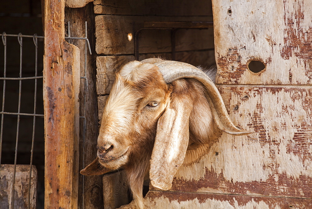 A billy goat in a pen at a home in Ezuz, Israel.
