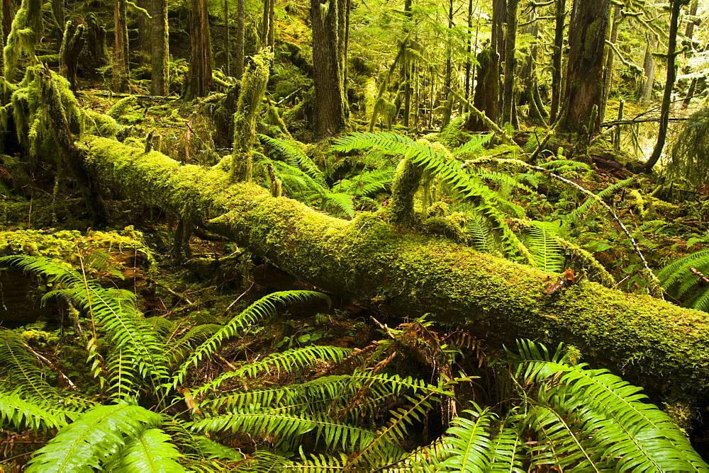 Sword ferns and nurse log along Marymere Falls Trail, Olympic National Park, Washington.