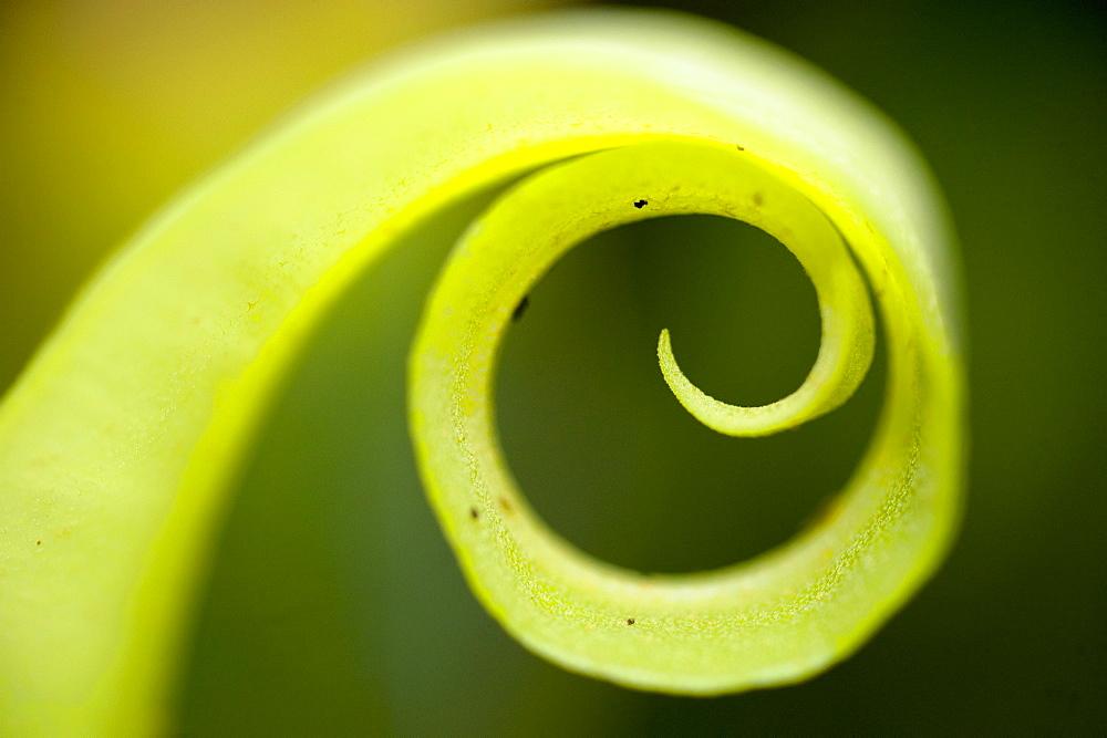 Macro image spiral green plant, Kauai.