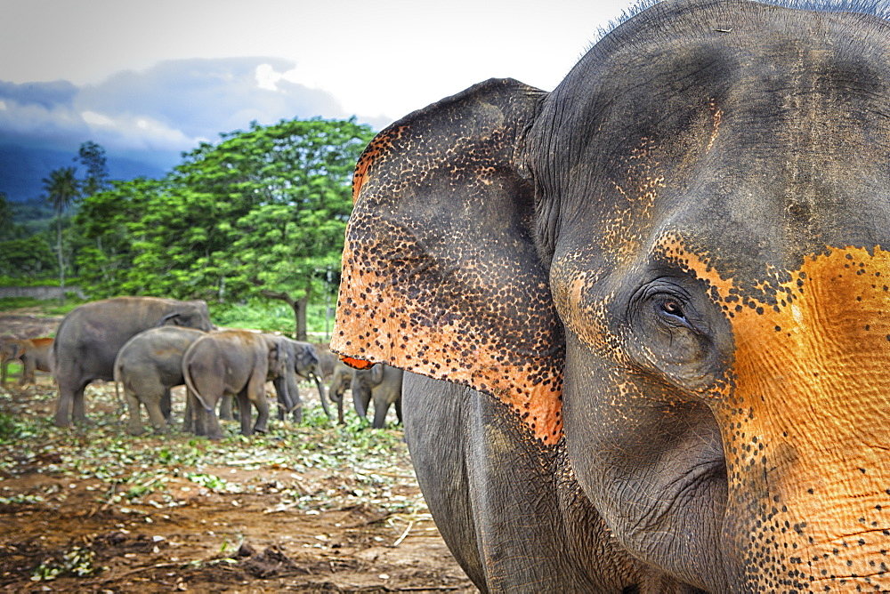 Sri Lanka - Pinnawela Elephant Orphanage for wild Asian elephants (Sabaragamuwa Province of Sri Lanka - 857-92767