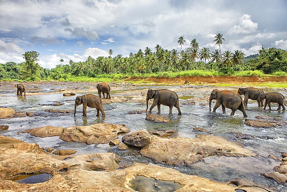 Pinnewala Elephant Orphanage near Kegalle, Hill Country, Sri Lanka, Asia
