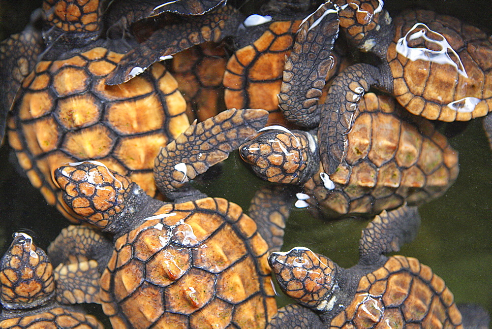 Green turtles (Chelonia mydas), Turtle Hatchery, Kosgoda, Sri Lanka, Indian Ocean, Asia