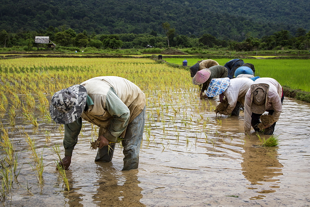 Rice farmers planing rice crop after beginning of monsoon season