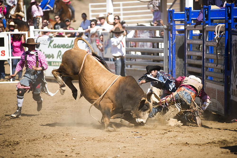 Bullfighter rodeo clowns try to distract a bull as its rider is bucked to the ground at the Woodlake Lions Rodeo rodeo in Woodlake, Calif., on May 10, 2015.