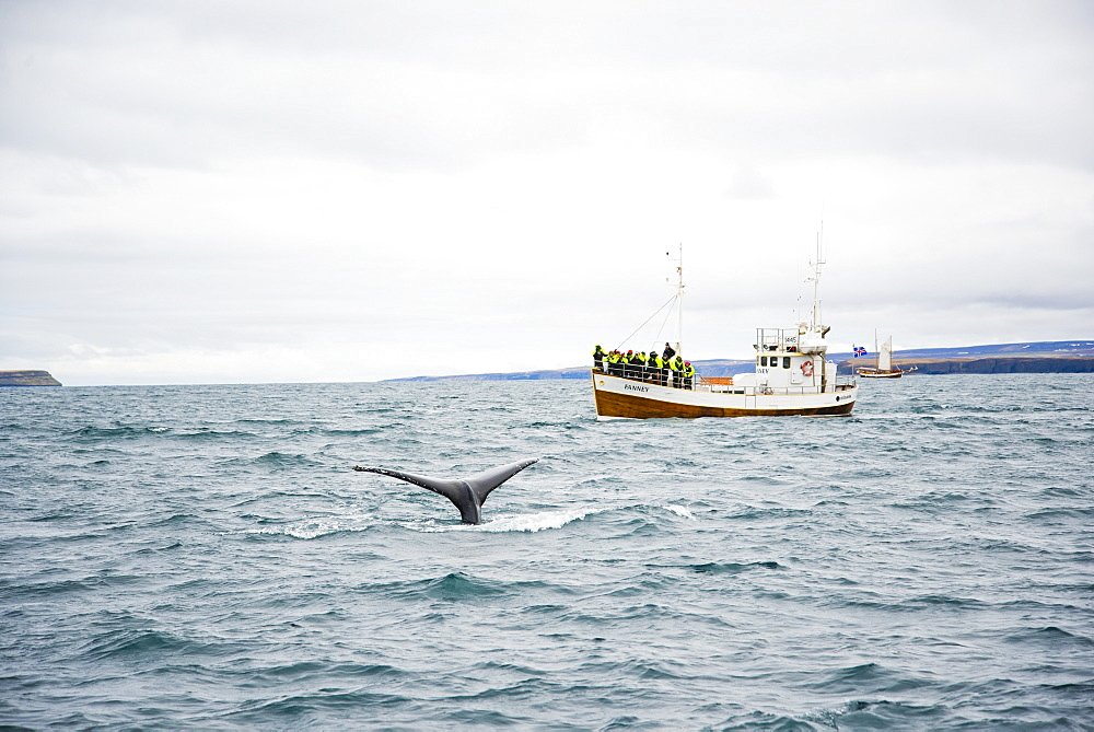 Tourist Exploring Whale Dives Off The Coast Of Husavik, Iceland