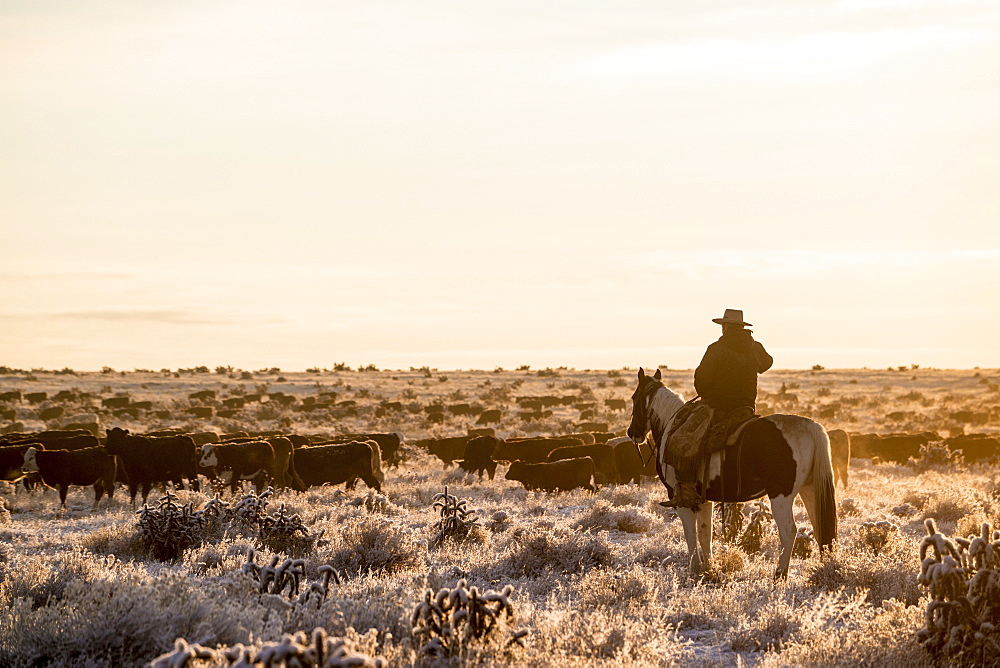 A Cowboy On His Horse Overlooking The Herd Of Cows Gathered On The Field In Early Morning