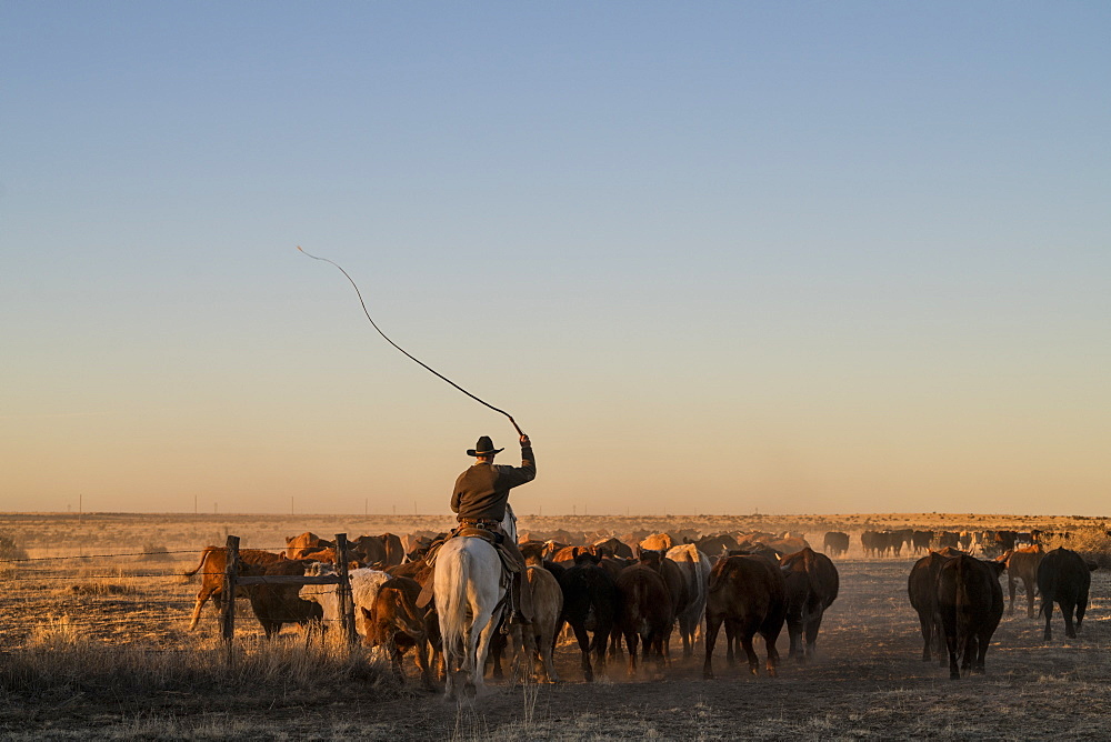 A Ranch Hand Keeps The Herd Moving At Sundown By Cracking His Bullwhip In The Air