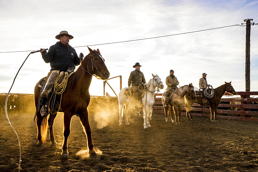 A Line Of Ranch Hands Ready To Push Cattle Through The Chute During A Sort And Preg Check Operation
