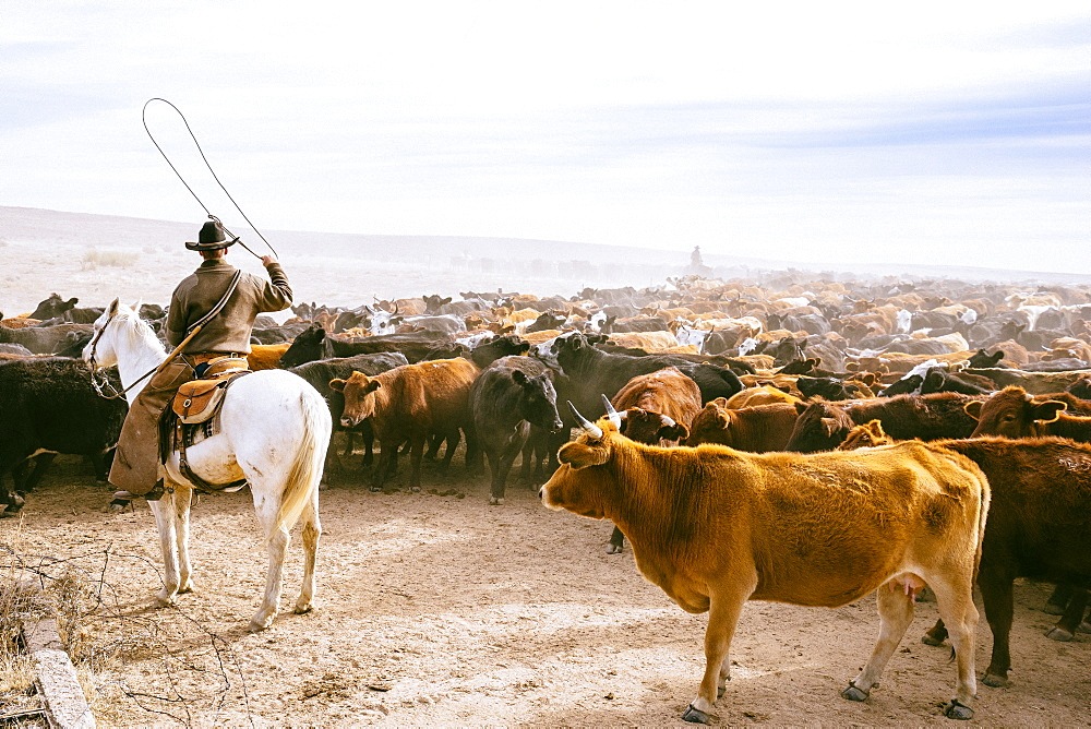 A Cowboy Swings His Lasso To Keep The Herd In Motion During A Routine Herd Move