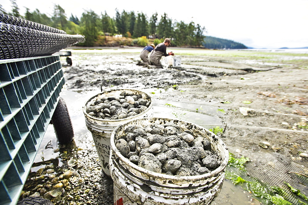 Buckets Are Filled With Clams At Buck Bay Shellfish Farm On Orcas Island, Washington