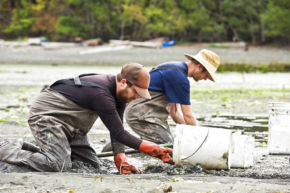 Two Farmers Digging For Clams At Buck Bay Shellfish Farm On Orcas Island, Washington, Usa