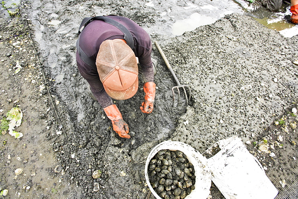 Person Dig For Clams At Buck Bay Shellfish Farm On Orcas Island, Washington