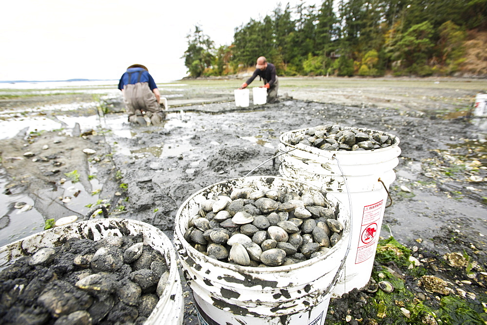 Two Men Dig For Clams At Buck Bay Shellfish Farm On Orcas Island, Washington, Usa