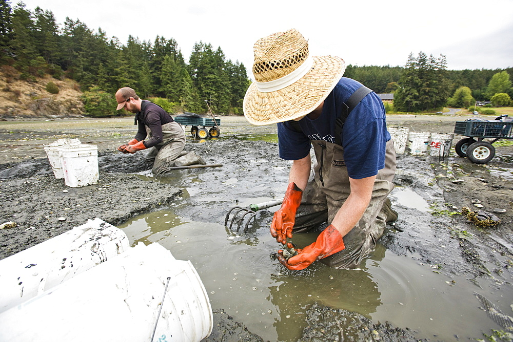 Two Men Dig For Clams At Buck Bay Shellfish Farm