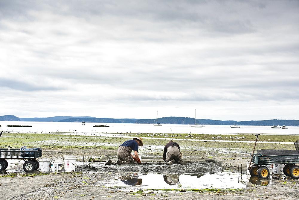 Two Men Dig For Clams At Buck Bay Shellfish Farm