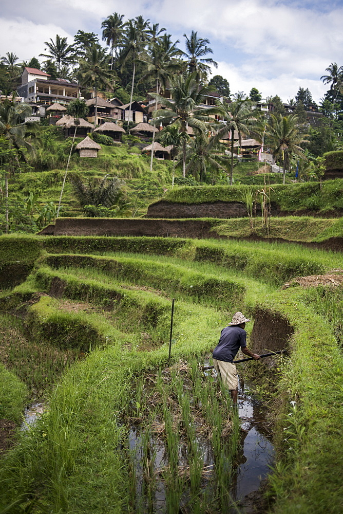 A Farmer Working In The Rice Field Terraces In Ubud, Bali, Indonesia