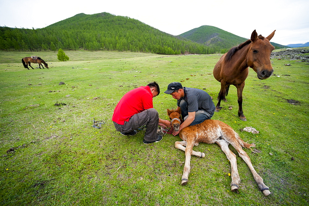 June 13, 2011 / Mongolia / Gou Barih day. Horses.
