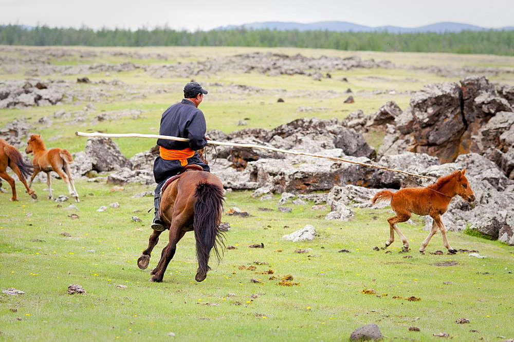 June 13, 2011 / Mongolia / Gou Barih day. Mongolian catching a foal.