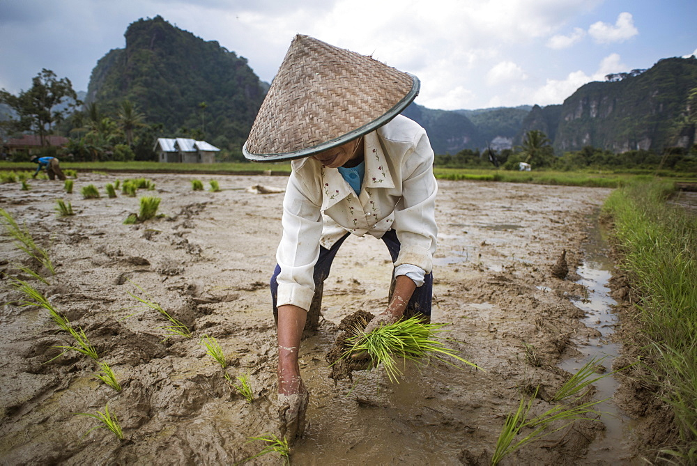A Female Rice Field Worker Planting Rice, Harau Valley, Indonesia