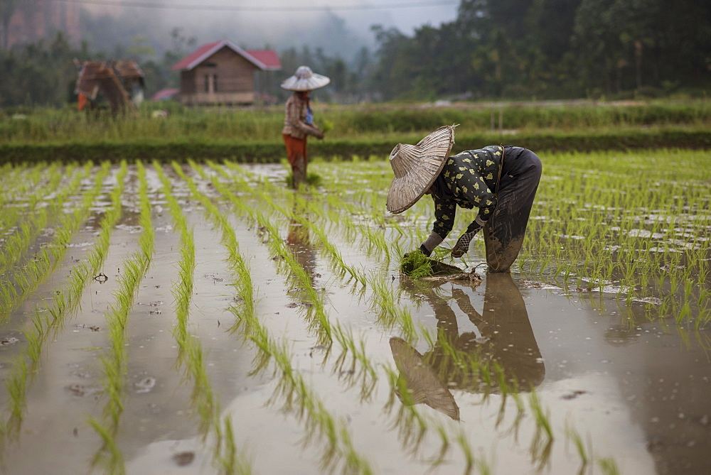 Female Workers Working In A Rice Field At The Harau Valley, Sumatra, Indonesia
