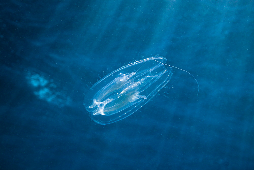 Comb Jellyfish, Tentaculata, Safaga, Red Sea, Egypt