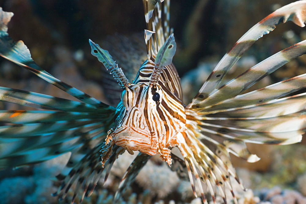 Lionfish, Pterois volitans, Safaga, Red Sea, Egypt