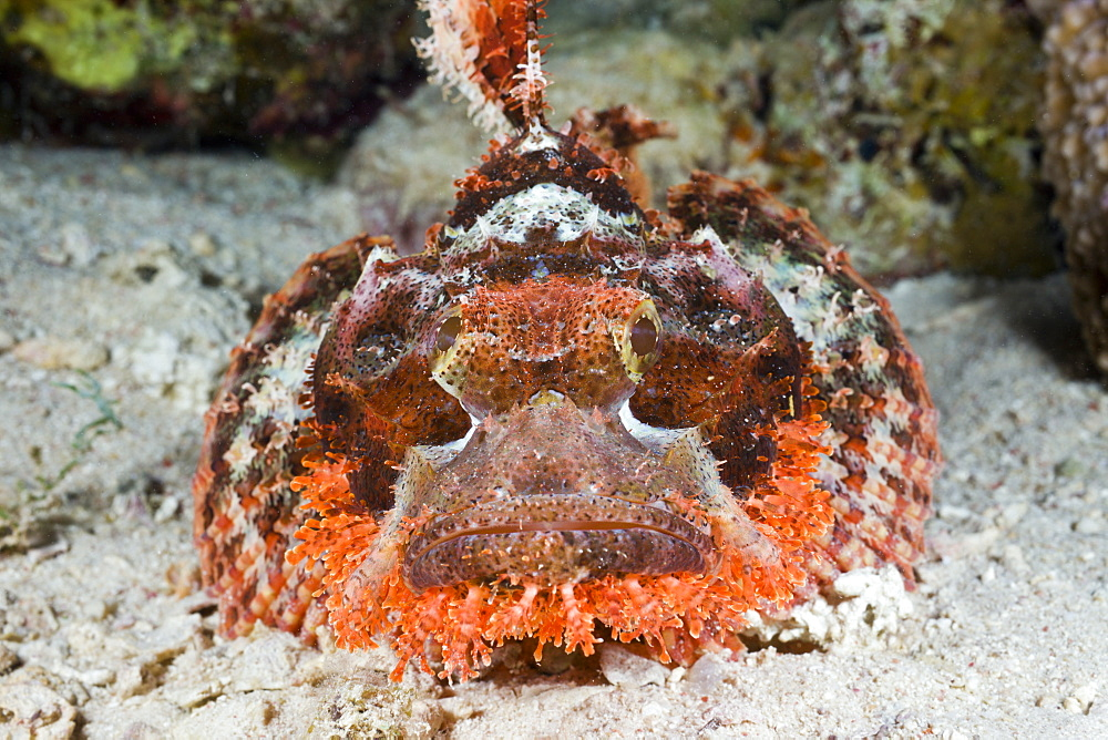 Tassled Scorpionfish, Scorpaenopsis oxycephalus, Nuweiba, Sinai, Red Sea, Egypt