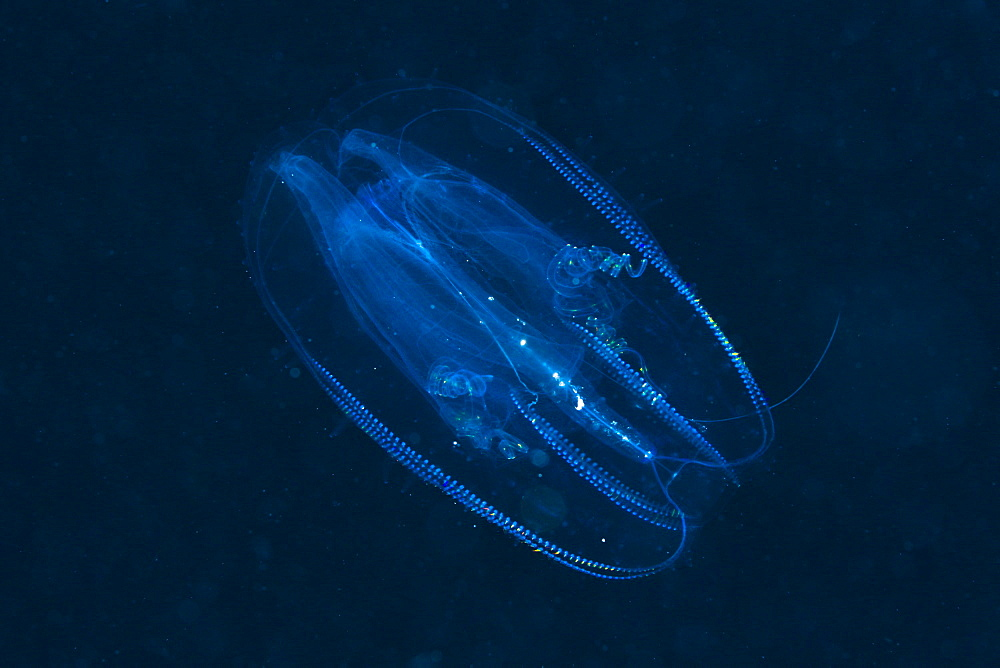 Comb Jellyfish, Tentaculata, Marsa Alam, Red Sea, Egypt