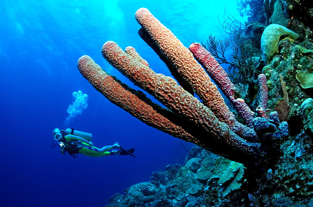 Diver and Tube-Sponges, Aplysina archeri, Netherlands Antilles, Caribbean Sea, Curacao